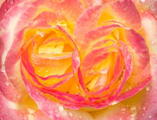 Eau de Rose 11